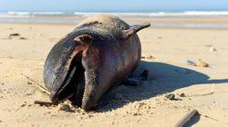 Γαλλία: 1.100 δελφίνια έχουν ξεβραστεί νεκρά στις ακτές μέσα σε 3