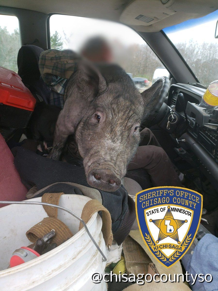 distracted driver pig