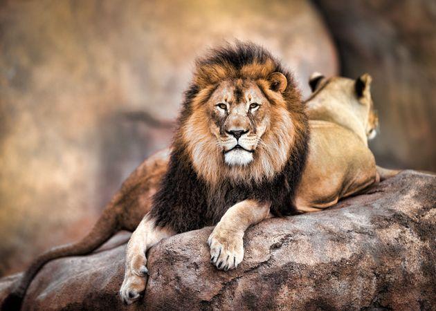 Πως τα λιοντάρια έχασαν τη δύναμή τους: Ο ανθρώπινος παράγοντας και το