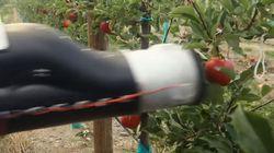뉴질랜드 과수원에 사과 따는 로봇이