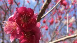 新元号「令和」は万葉集が出典 「梅花の歌」序文の現代語訳は?