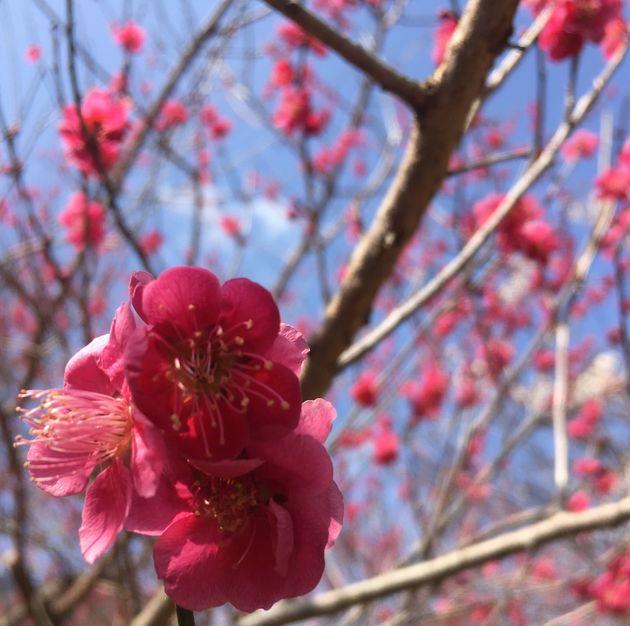春を告げる梅の花