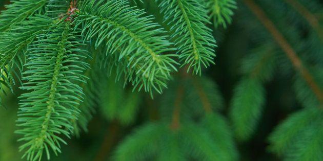 Noël: des huiles essentielles de sapin pour passer l'hiver sans