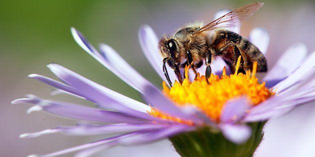 Les abeilles disparaissent et il est urgent d'agir: voici six plantes pour jardin et balcon, qui attireront...