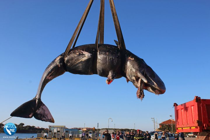 This sperm whale was found dead with nearly 50 pounds of plastic in its stomach on the coast of Sardinia, Italy.