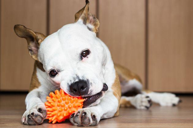 Brinquedos distraem cachorro em tempo livre, sem o