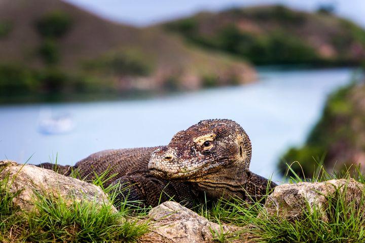 A Komodo dragon pictured on Komodo Island, Indonesia.