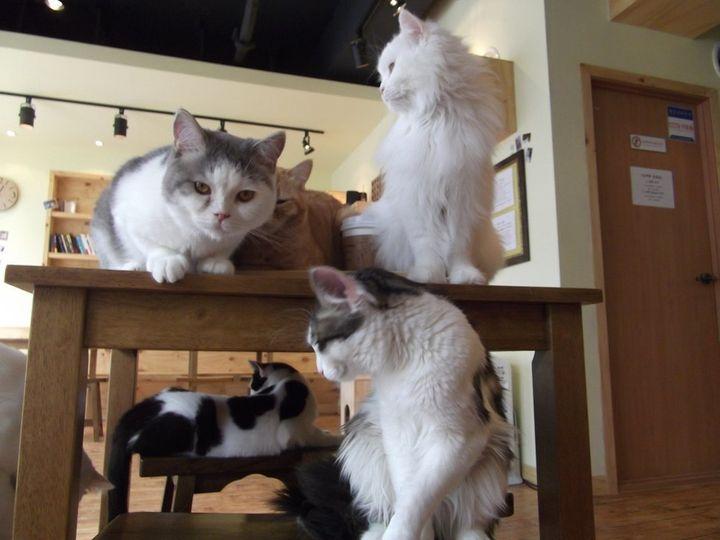 가정에서 여러 마리를 기르는 고양이는 제 이름을 알아들었지만 고양이 카페 고양이는 그렇지 않았다.