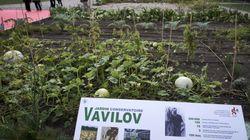 Un institut botanique russe fait revivre de vieux légumes