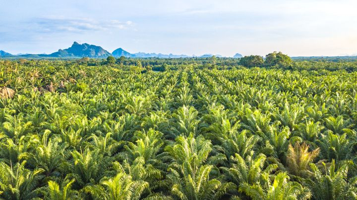 Monocultures such as oil palm plantations do not provide the same climate change mitigation impacts as natural forests, and t