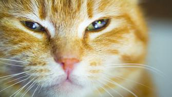 A close-up of a yellow cat with a smug expression.
