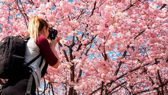 A woman takes pictures of a blooming Japanese cherry blossom (sakura) tree at the Stadtpark in Vienna on March 22, 2019. (Photo by JOE KLAMAR / AFP)        (Photo credit should read JOE KLAMAR/AFP/Getty Images)
