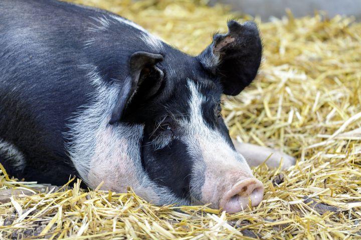 A pig who resembles Princess.