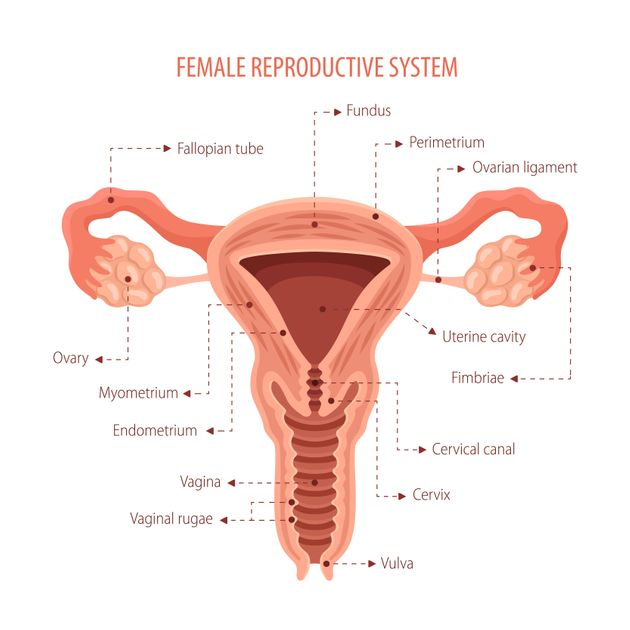 A diagram of the female reproductive anatomy, including the vaginal canal (known as the