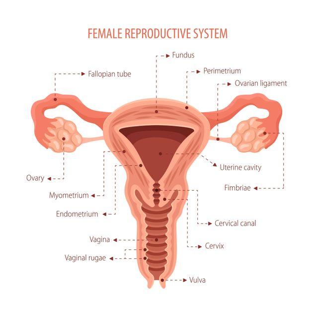 Um diagrama da anatomia reprodutiva feminina, incluindo o canal vaginal (conhecido como a vagina) e a...