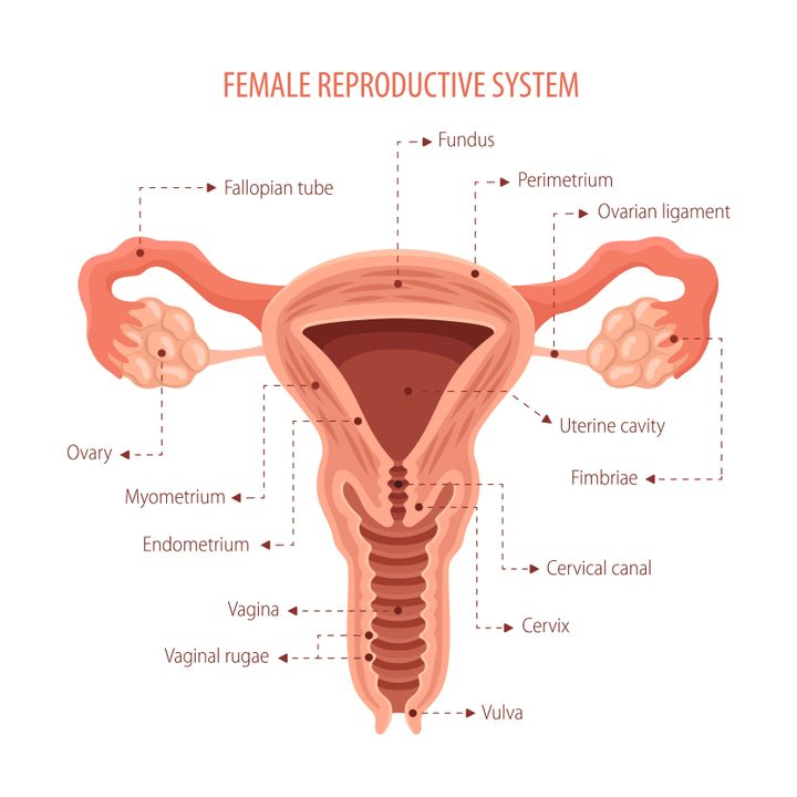 "A diagram of the female reproductive anatomy, including the vaginal canal (known as the ""vagina"") and the vulva, which is the external genitalia."