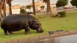 Un hipopótamo se escapa de un circo de Roquetas de