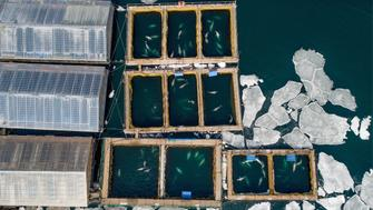 PRIMORYE TERRITORY, RUSSIA - MARCH 1, 2019: An aerial view of pools in the marine animals adaptation centre where illegally caught 11 orcas and 90 belugas that were to be sold to Chinese amusement parks are being kept, in Srednyaya Bay near the city of Nakhodka in Russia's Far East. It has been reported that 1 orca and 3 beluga whales are missing. Russian prosecutors have launched a criminal investigation into the illegal capture of the animals. On February 22, 2018, Russian President Vladimir Putin has told the Russian Environment Ministry and Russian Agriculture Ministry to look into the matter. Yuri Smityuk/TASS (Photo by Yuri Smityuk\TASS via Getty Images)