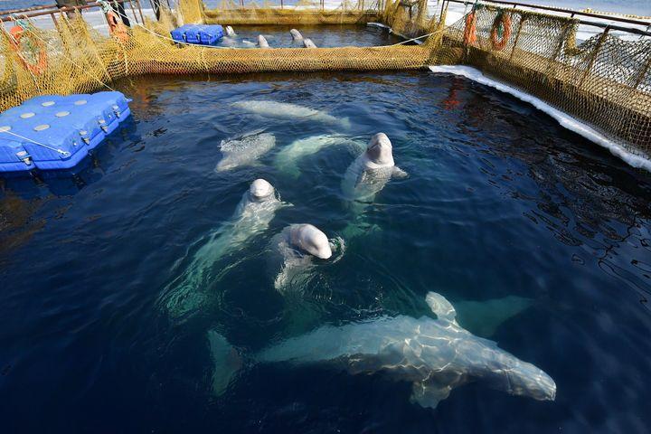 Belugas in their holding pens inSrednyaya Bay.