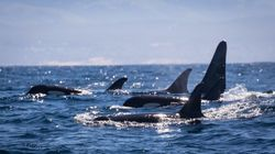 Dozens Of Endangered Orcas Spotted Off California Coast For The First Time In 8