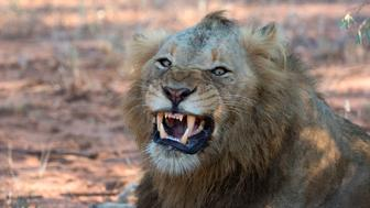 Kruger National Park. Lion yawning, Panthera leo, South Africa. (Photo by: BSIP/UIG via Getty Images)