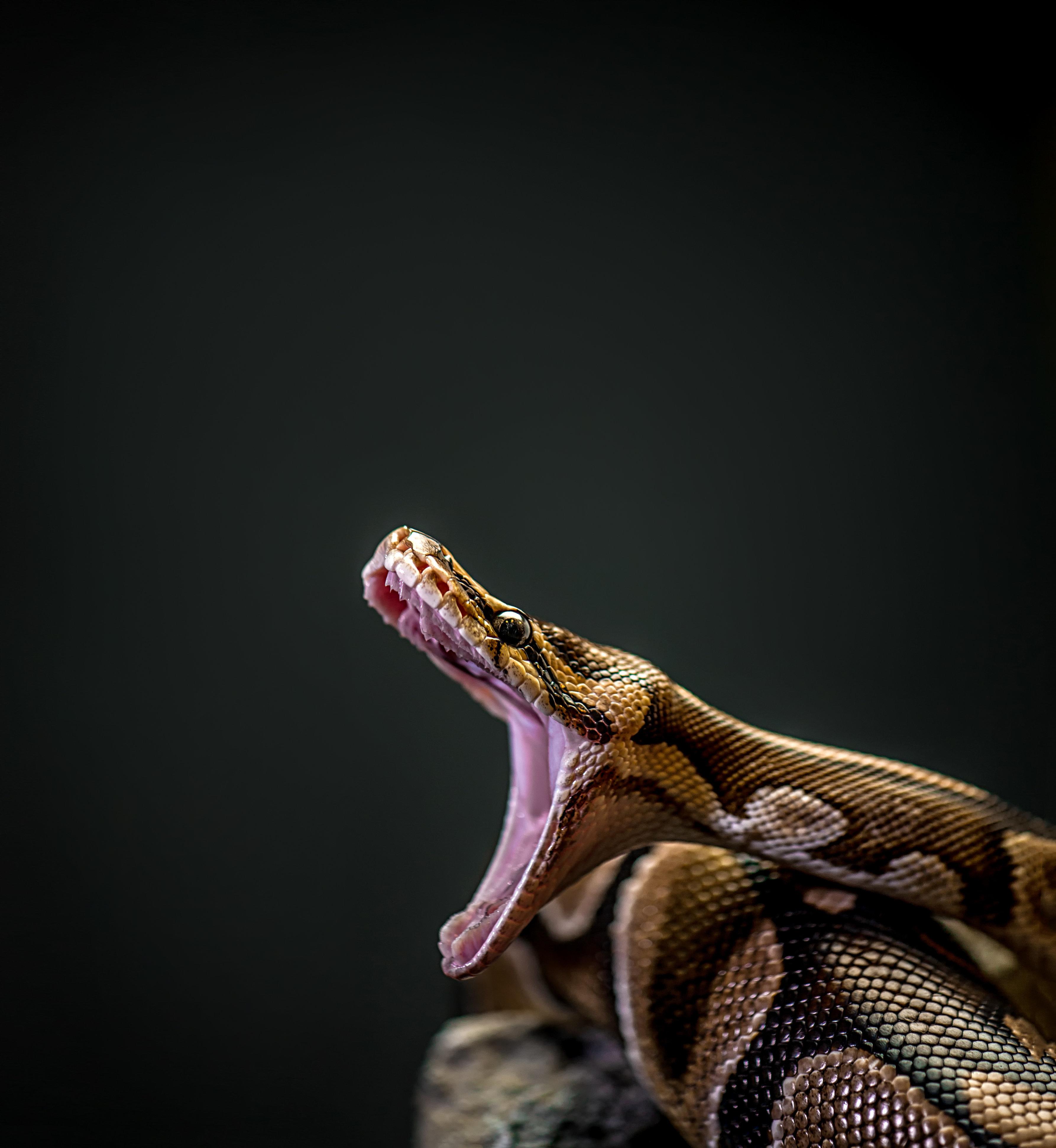 屈強な男4人で持ち上げ…巨大すぎるニシキヘビ、アメリカで見つかる【画像あり】
