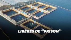 Le fils du commandant Cousteau obtient la libération de 100 cétacés capturés en