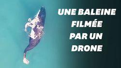 Une baleine noire, en voie d'extinction, filmée par un