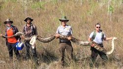 Record-Sized Mama Python Makes Hisssstory In