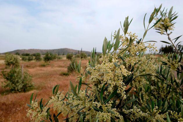 Είναι από την Κύπρο το πιο υγιεινό ελαιόλαδο του