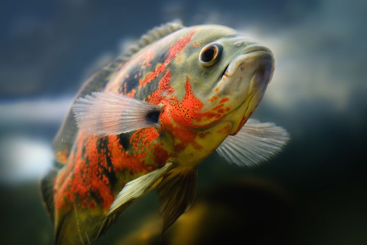 An Oscar fish, the same kind of fish at the center of an animal neglect case in North Carolina.