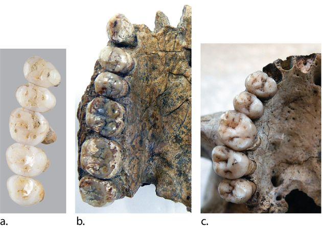 Une partie des dents de l'Homo