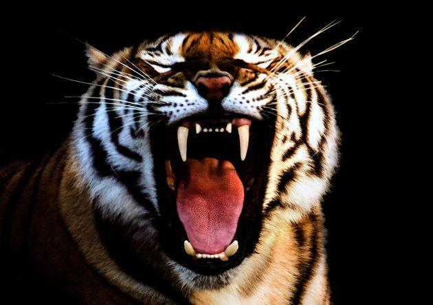 Πώς είναι μια τίγρης με πονόδοντο; Η απάντηση στο