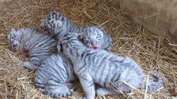 Au parc Friguia, quatre bébés tigres ont vu le