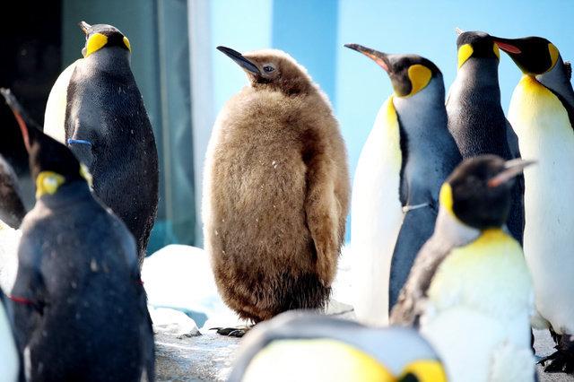 人工授精によって誕生したオウサマペンギンのひな(中央)=2019年4月5日、千葉県鴨川市、西岡臣撮影