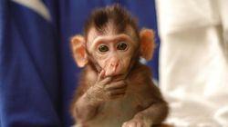 Eπιστήμονες εμφύτευσαν ανθρώπινα γονίδια σε μαϊμούδες - Τρομάζει το