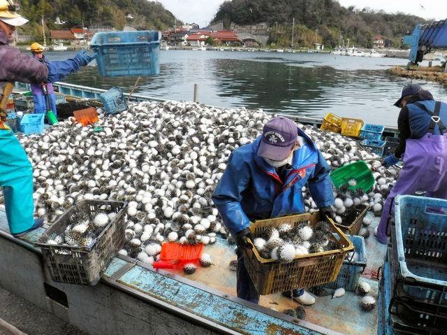 定置網にかかったハリセンボンを運び出す漁業者(3月、笠浦大敷網漁業提供)