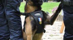 De la SPA à la lutte anti-stupéfiants, le chien policier Falko médaillé prend sa