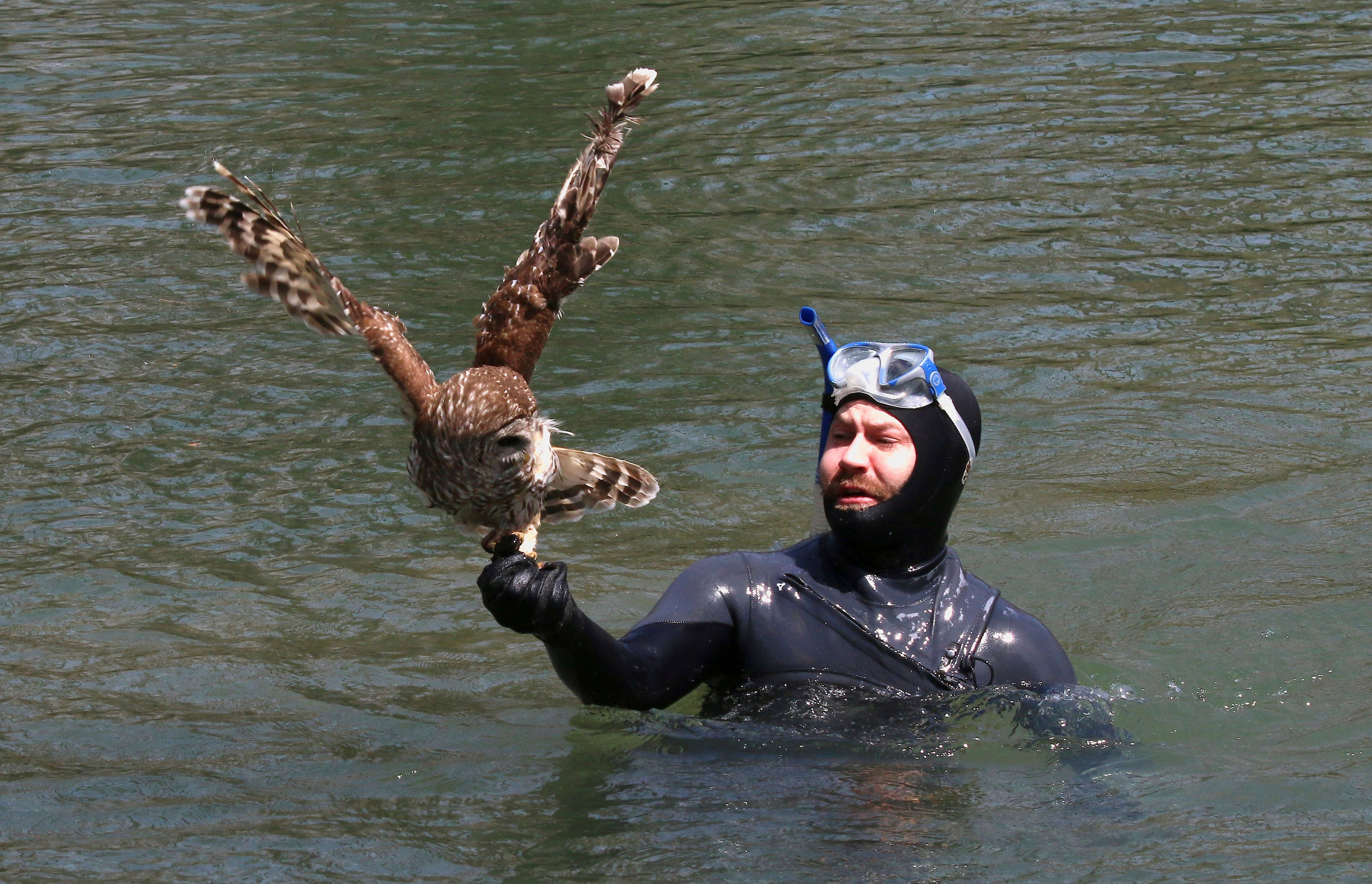 In this April 6, 2019 photo provided by Bill Hulsebus, a snorkeler, Jonathan Knapp holds a barred owl that was caught in fishing line in a tree at the Springfield Conservation Nature Center in Springfield, Mo. The owl caught a lucky break when a Knapp banded with wildlife officials to rescue the bird from the fishing line tangled in trees above the James River. (Bill Hulsebus via AP)