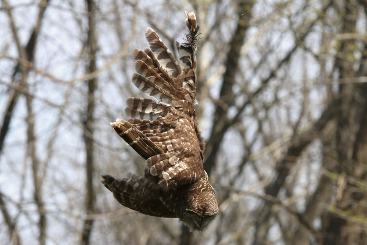 The owl with its wing stuck in the fishing line.
