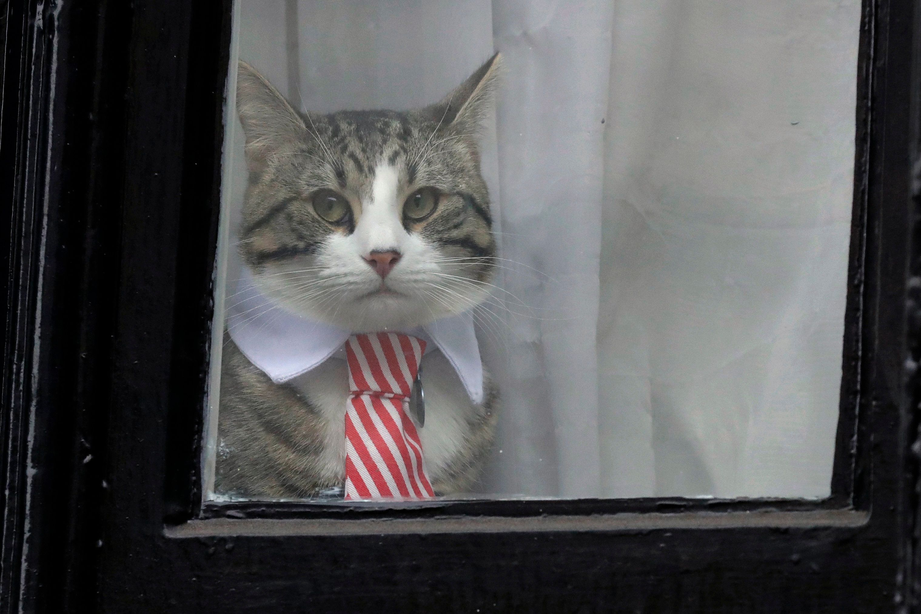 FILE - In this Nov. 14, 2016 file photo, a cat dressed with a collar and tie looks out from a window of the Ecuadorian embassy in London. Following the April 11, 2019 arrest of Julian Assange outside the Ecuadorian embassy in London, Ecuador's Foreign Minister José Valencia answered concerns about Assange's cat, saying the feline had been delivered to Assange's relatives at the end of 2018. (AP Photo/Matt Dunham, File)