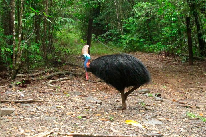 In this file photo, a cassowary roams in the Daintree National Forest, Australia.