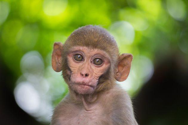 アカゲザルの赤ちゃんのイメージ写真