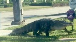 Hungry And Horny Alligators Are Invading Florida Streets And