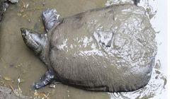 Muere la última hembra de tortuga gigante de caparazón blando del