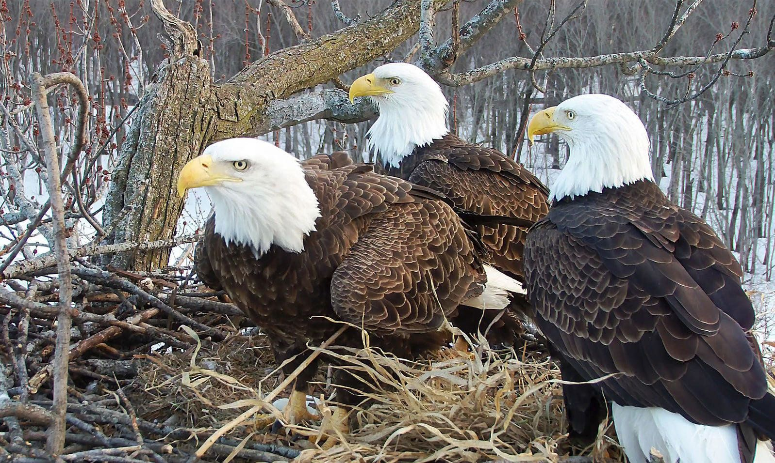 Eagle threesome