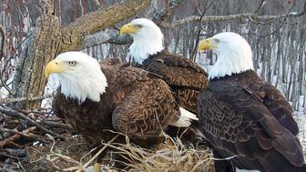 Eagle threesome