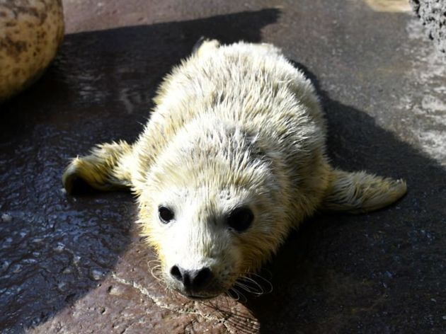 亡くなったゴマフアザラシの赤ちゃん