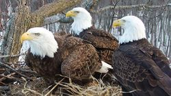 3 Captivating Bald Eagle Co-parents Are Raising A Family