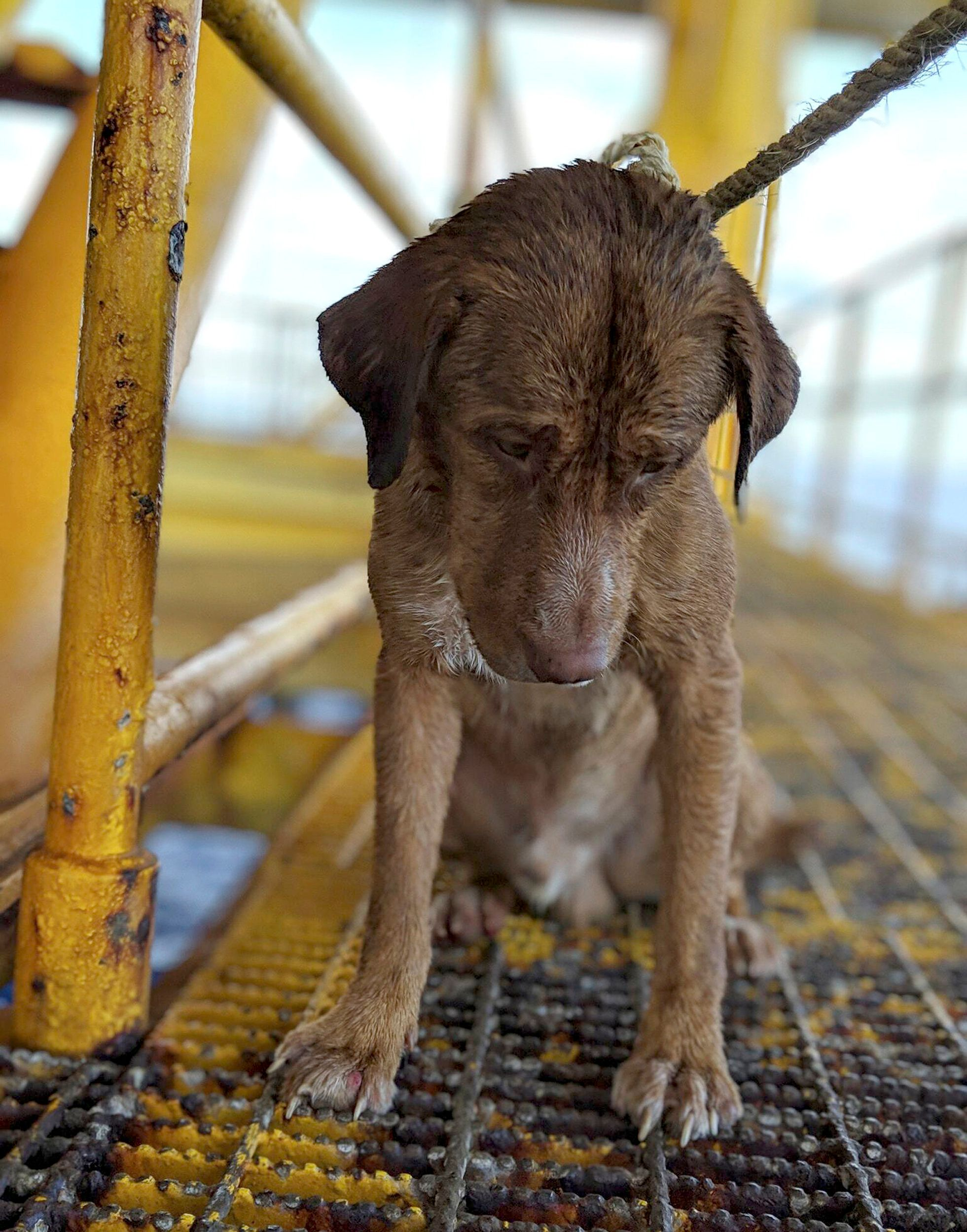In this Friday, April 12, 2019, photo, a dog sits on an oil rig after being rescued in the Gulf of Thailand. The dog found swimming more than 220 kilometers (135 miles) from shore by an oil rig crew in the Gulf of Thailand was returned safely to land. Vitisak Payalaw, stationed on the rig belonging to Chevron Thailand Exploration and Production, said on his Facebook page the dog was glimpsed Friday swimming towards the platform, where it got a grip on a pole at sea level. (Vitisak Payalaw via AP)